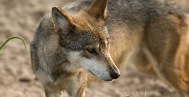 54 best images about mexicanwolves on pinterest for Black wolf fish