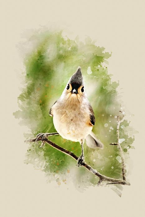Tufted Titmouse Watercolor Art by Christina Rollo © www.rollosphotos.com.