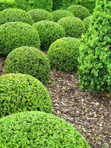 Green Velvet Boxwood, tiny white flowers bloom in the spring! http://www.fast-growing-trees.com/Green-Velvet-Boxwood.htm