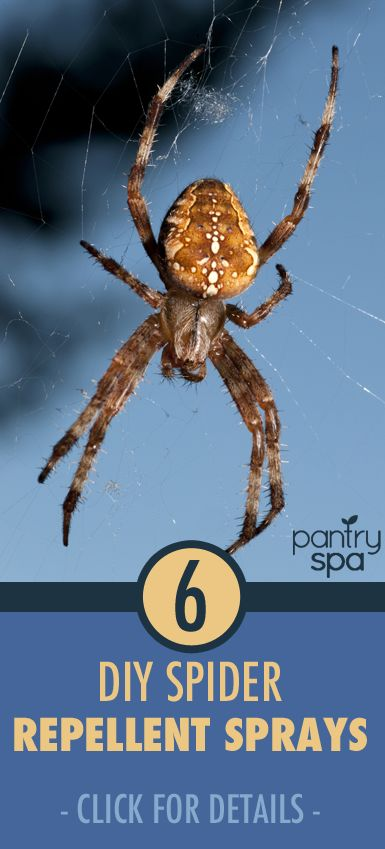 Don't let spiders bug you! Get rid of them naturally trying these six at-home remedies. Spiders have taste buds on their legs, so beating them with scents is the way to go. As soon as they trip across a scent they hate, the spiders will be fleeing.