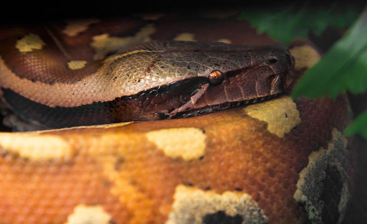Python Curtus I