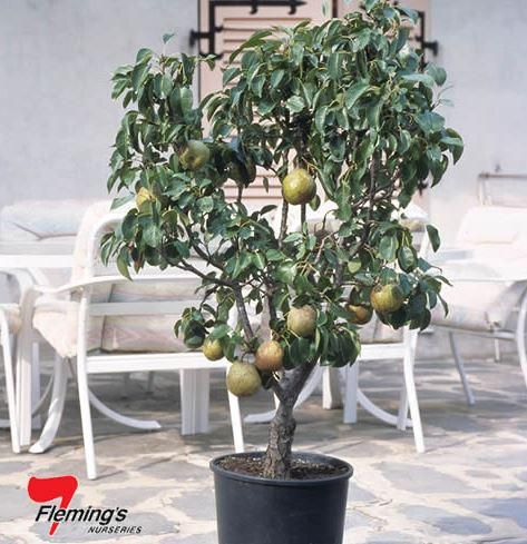 Trixzie® Pear - cv.'Pyvert another great miniature for small gardens, also great in pots! #bareroot