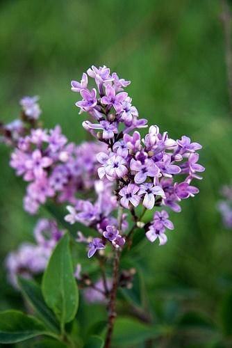 The Lilac Bush of Rose Hill Farm | Lilacs, Lilac bushes