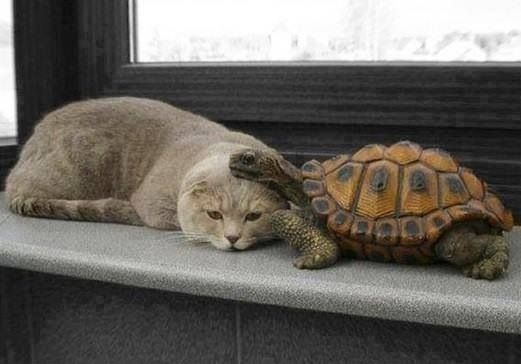 "TURTLE: "" Once ya get to know me, you'll  like me cuz I iz slow.""  CAT: "" I'll haves teh think about wut dat  means."""