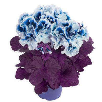 100 бр / чанта Здравец Семена Редки Пъстра здравец Seed вкарана Зимни Многогодишно цветна градина за бонсаи за Home Garden -в Бонсай от Home & Garden на Aliexpress.com | Alibaba Group