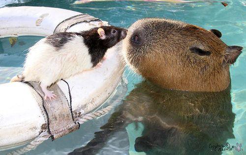カピバラほど好かれる生き物なんているだろうか…他の動物に愛されている写真いろいろ
