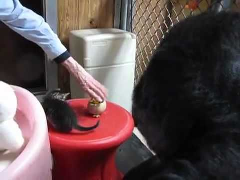 Koko the Gorilla Gets a New Pet Kitten - So Adorable. Many more Koko-videos on YouTube :-)
