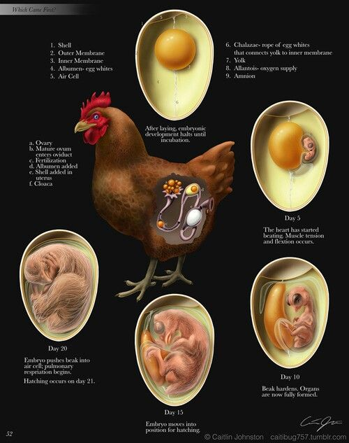 Birth cycle of a chicken