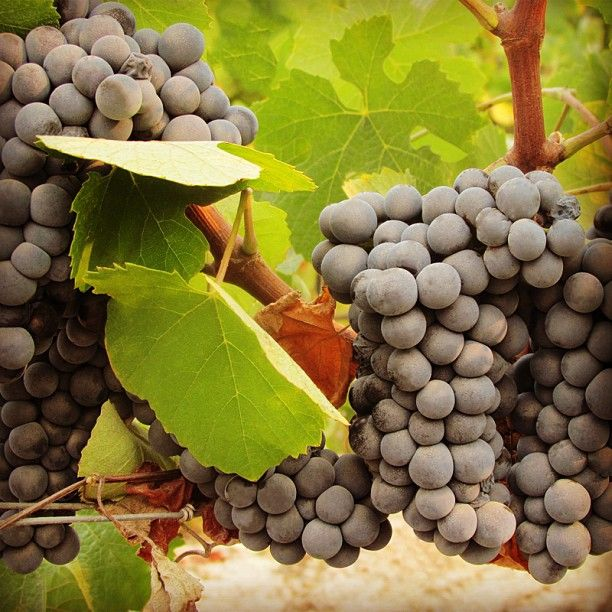 Best 110 grape varieties ideas on pinterest fruit wine - Difference between wine grapes and table grapes ...