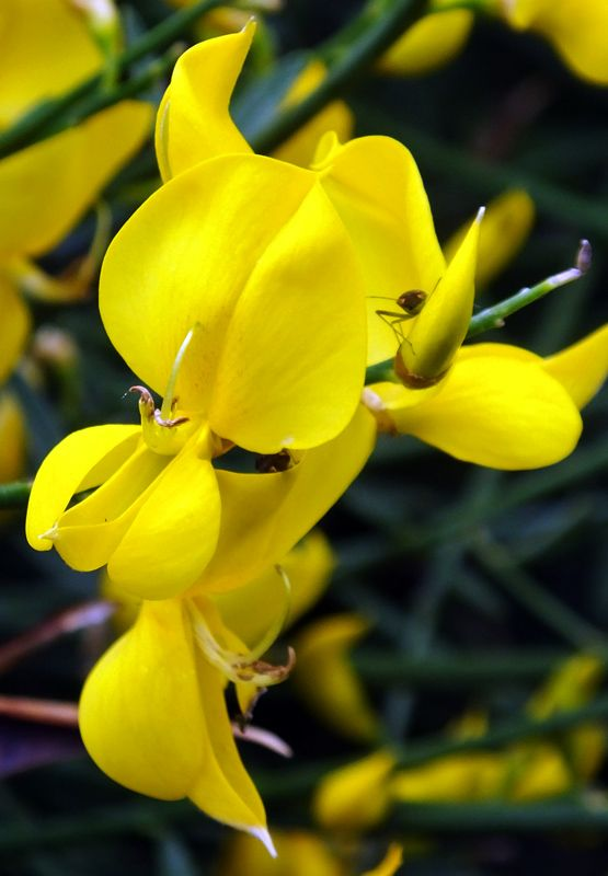 #Yellow Spanish #broom #flower with #beetle close up Holland Park London 23 June 2013