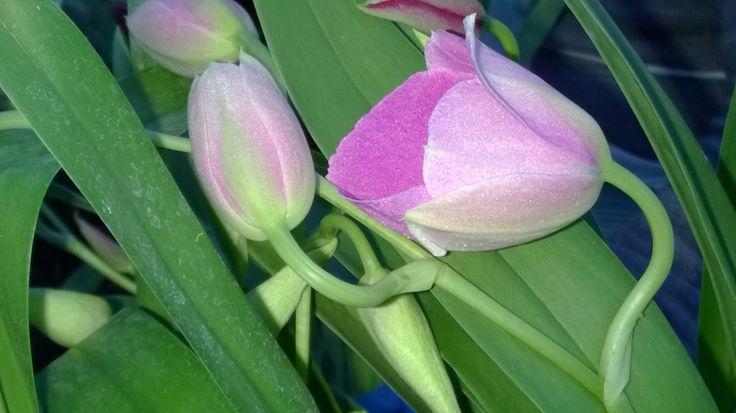 Bocciolo di Miltonia di enricoorchidee ad Albenga. Enrico, le orchidee Made in Italy dal 1977.