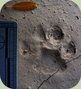 How to distinguish male from female bobcat tracks - very interesting info!!