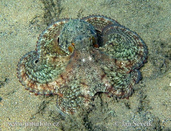 'nother octopus: Photo Images, Naturephoto Cz, Photo Galleries, Natural Photo, Octopuses Photo