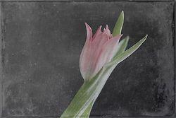 Tulip, Fine Art, Photo Art