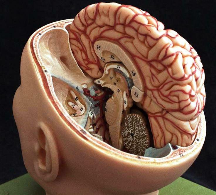 Brain model anatomy