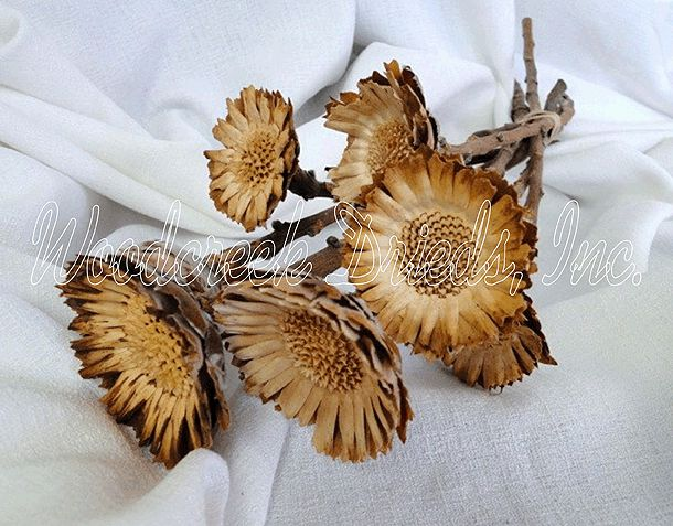 Protea Compacta Rosette Dried Flowers For Sale At