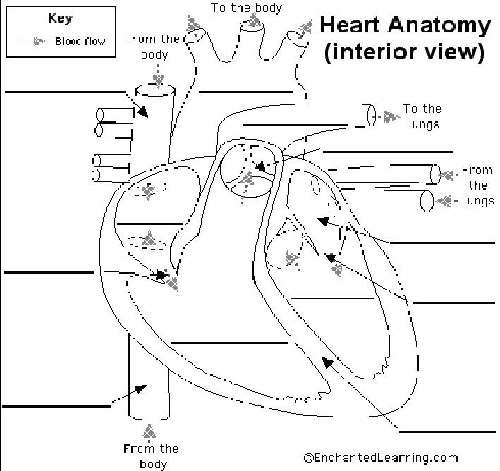 Blood Flow Through The Heart Heart Diagram | The PT Bee ...
