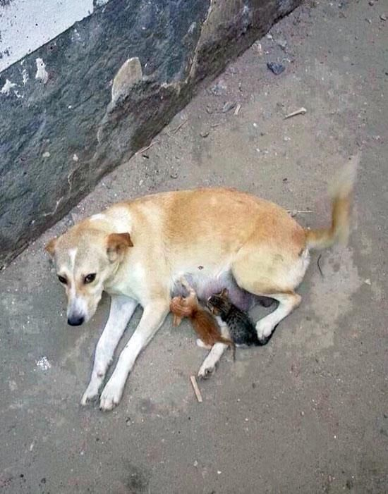 Stray dog on the street feeding milk to newborn homeless kittens.