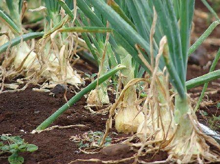 II▻✚✚✚ Cultivo de cebolla. Pequeños consejos para cultivar cebollas. Riego, abonado, clima, suelo, calendario de cultivo, consejos de siembra, plagas.