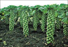 Выращивания брюссельской капусты дома и на даче.