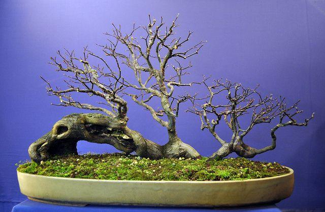✿ڿڰۣ(̆̃̃•Aussiegirl Maple bonsai