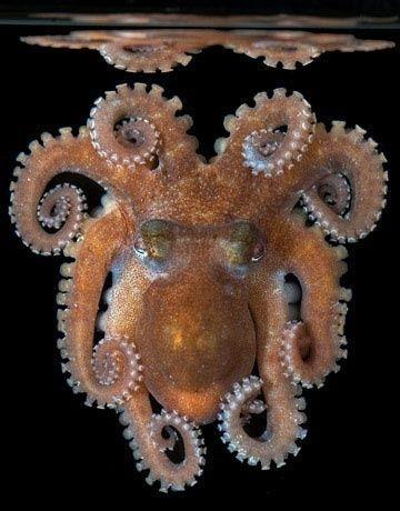 Lizard Island Octopus-What an amazing photograph.