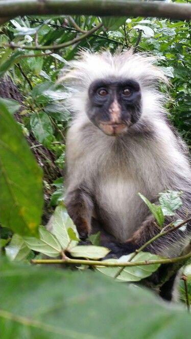 ...un sorriso please  #zanzibar#scimmiarossa