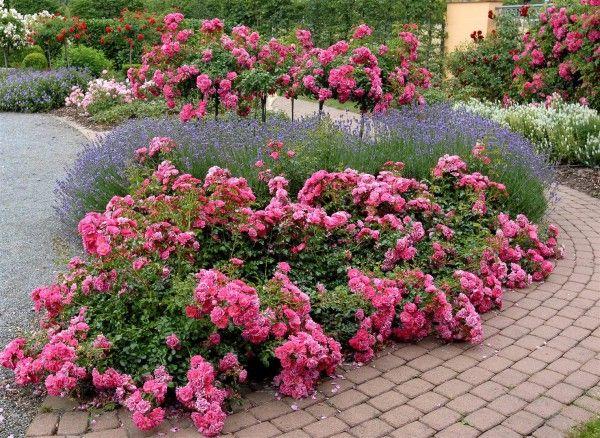 """Rose """" Flower Carpet ® Pink """" , (NOAtraum) , Werner Noack (Germany, 1988) , ( """" Emera ® """" , """" Blooming Carpet """" )"""