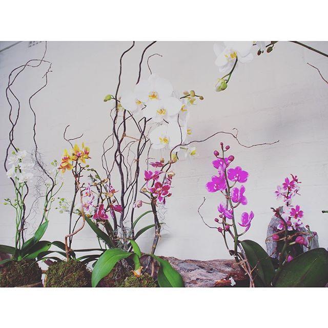 Bloodwood Botanica | Phalaenopsis Orchid Love x