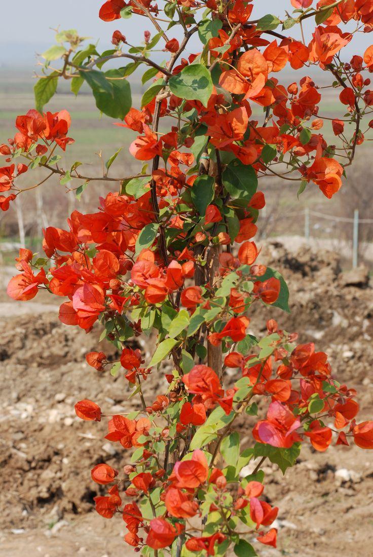 Boungavillea  portocalie. (sere Beharca)