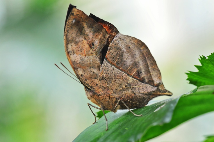 The Orange Oakleaf or Dead Leaf (Kallima inachus) is a nymphalid butterfly found in tropical Asia from India to Japan. With wings closed, it closely resembles a dry leaf with dark veins. It is a spectacular example of camouflage.