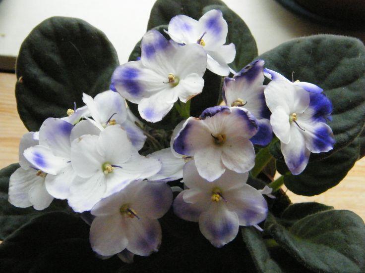 Kaapse viooltjes worden vaak als 'ouderwets' gezien, maar deze kleurencombinatie vond ik wel erg mooi.