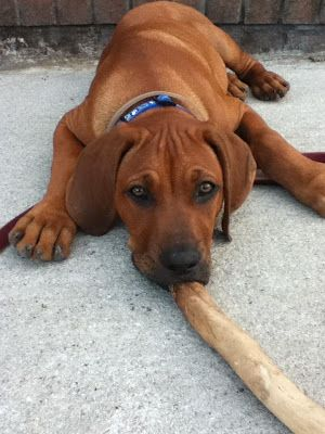 Ridgeless - MR Ridgebacks: About Us and our Puppies