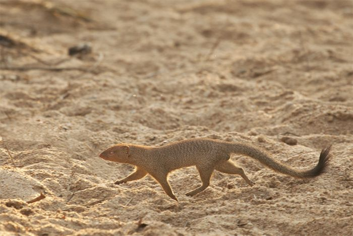 A slender mongoose darts across the Sand River. Photograph by Amy Attenborough