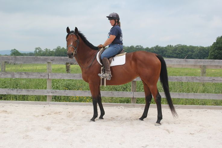 TAKE BAZZIE OUT-- 15.2+ bay mare born February 18, 2002 (Take Me Out - Bazzie, by Crafty Prospector). Bazzie may have had some prior training before she came to us. She's been back in work here at Akindale for about a month, is going walk-trot-canter and starting to go on the bit. She's got a very calm personality, doesn't bat an eye at cars (or even a big truck and trailer), good ground manners, and no vices. Bazzie should be good for any discipline and has no limitations.