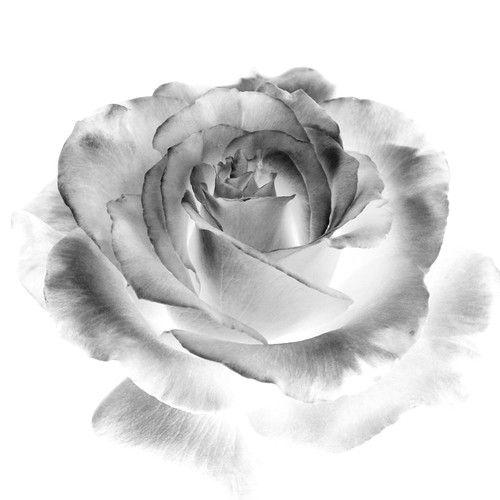 Розы моно и контур. Обсуждение на LiveInternet - Российский Сервис Онлайн-Дневников