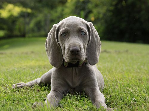 breaking the cardinal weimaraner rule | Flickr - Photo Sharing!