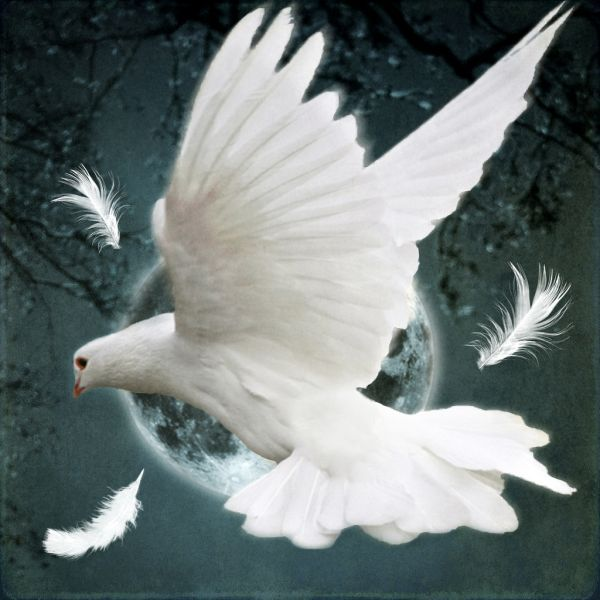 white dove peace remembrance day