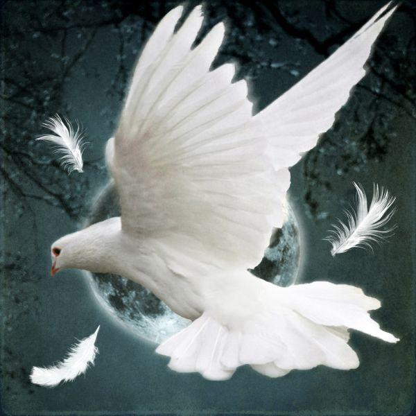 white dove peace remembrance day
