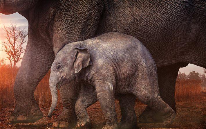 Lataa kuva Vauva norsu, sunset, pikku elefantti, Afrikka, norsuja