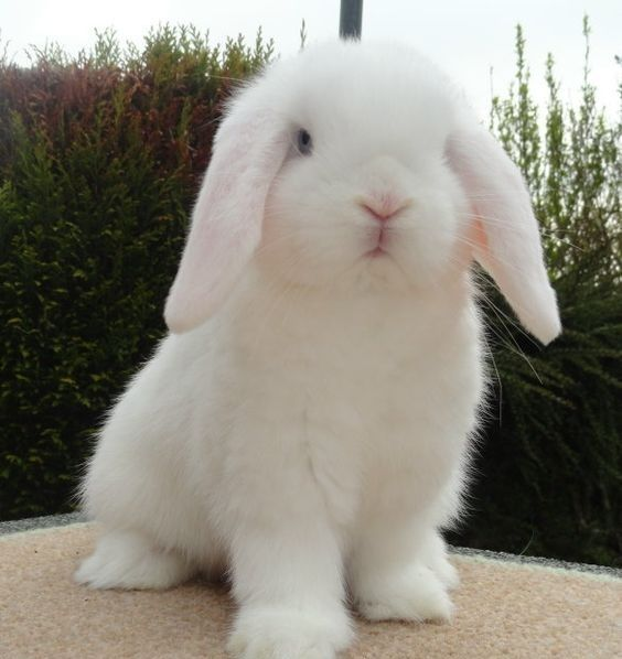 Fluffy White Mini-Lop