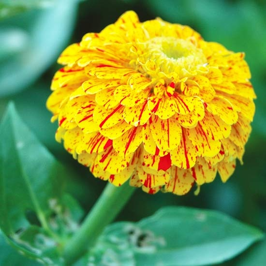 33 best yellow and orange flowers images on pinterest beautiful pop art red and yellow zinnia 24 annual mightylinksfo