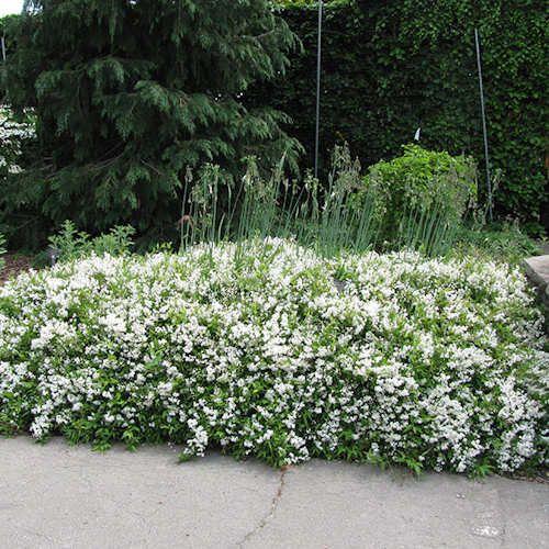 Achat deutzia gracilis nikko jeune plante en motte ou - Arbuste petites fleurs blanches ...