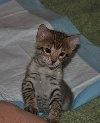 Savannah kitten so cute (REPIN if you love how his ears point up!)