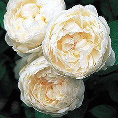 Glamis Castle. Pure white, cup-shaped flowers of typical Old Rose character &  an English Rose, myrrh fragrance.   Glamis Castle was the childhood home of The late Queen Mother and the legendary setting of Shakespeare¹s play 'Macbeth'.