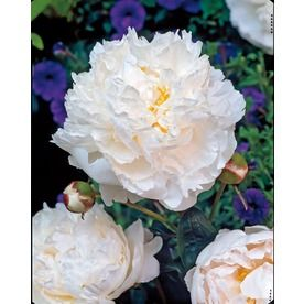 $6.98 Garden State Bulb 1-Pack Shirley Temple Peony (L8652)WHITE Height (Inches)24 Maximum Width (Inches)36 Light RequirementsFull sun  FENCE LINE