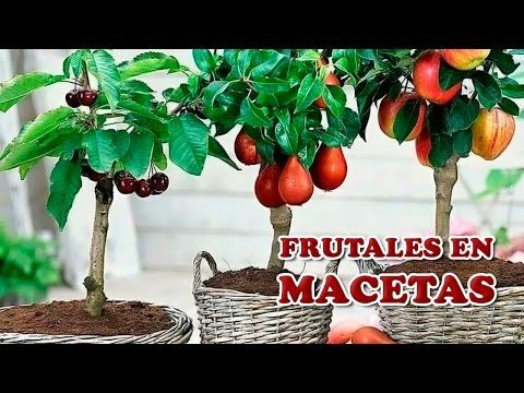 31 best árboles frutales en maceta images on pinterest | plants