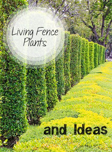Living Fence Plants, Bushes, Shrubs and Flower Ideas.  Great Landscape Tips and tricks and yard design ideas.