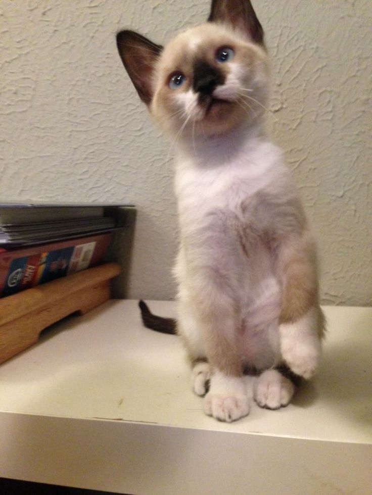 dwarf cat price