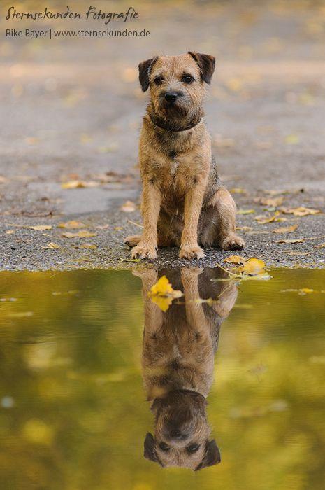 Border Terrier autumn